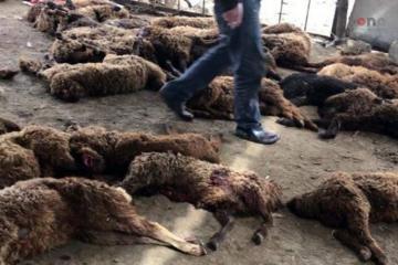 Canavarların 400-dən çox qoyunu tələf etdiyi qışlaqda dezinfeksiya işləri aparılıb