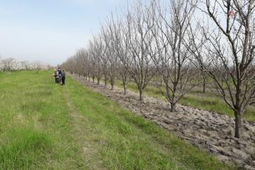 Злоумышленники вырубили более 200 фруктовых деревьев в Губе