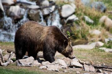 В Канаде медведь загрыз французского композитора