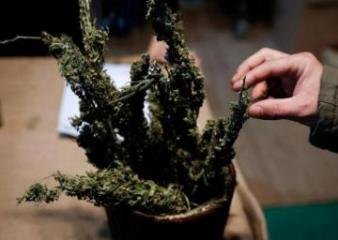 Zambia approves cannabis exports to boost economy