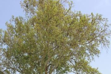 Yevlax sakini ağacdan yıxılaraq ölüb