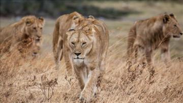 14 lions escape nature park in South Africa