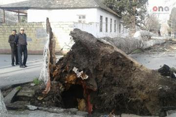 Göyçayda iri gövdəli ağac aşıb, yol bağlanıb - [color=red]FOTO[/color]