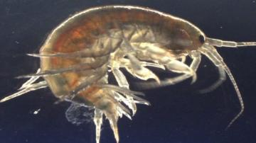Scientists find cocaine in shrimps