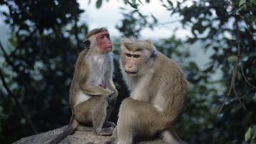 В Малайзии обезьяны напали на пожарную машину, есть пострадавшие
