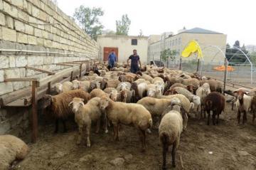 Göyçayda çoban işlədiyi fermadan qoyunlar oğurlayıb
