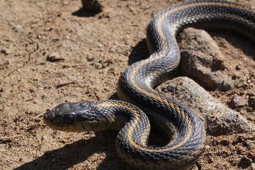 В Мингячевире змея укусила пастуха
