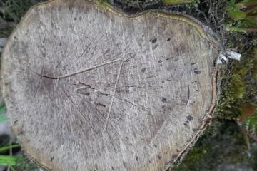 ETSN Masallıda ağacların qanunsuz kəsilməsi ilə bağlı araşdırmaya başlayıb