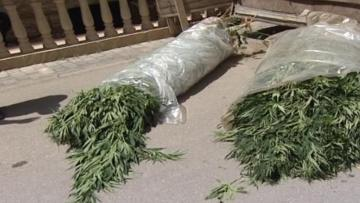 Külli miqdarda narkotik yetişdirən Buzovna sakini saxlanılıb