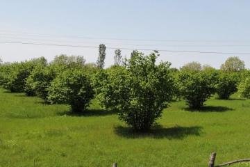 Quba-Xaçmaz regionunda yeni texnologiya ilə fındıq bağları salınır