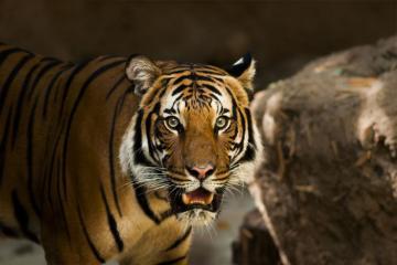 В Индонезии тигр оторвал голову работнику плантации