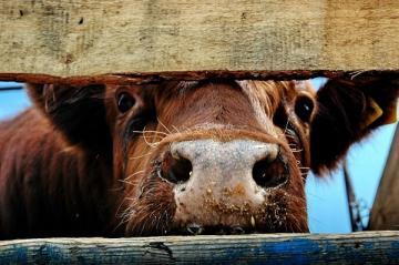 В Гяндже корова выбила глаз женщине