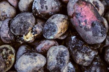 Noxious gas from rotten potatoes kills four people in Chelyabinsk Region