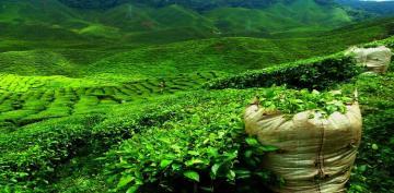 В Азербайджане импорт чая превысил экспорт более чем в 10 раз