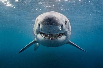 Avstraliyada köpək balığı dalğıcı öldürüb