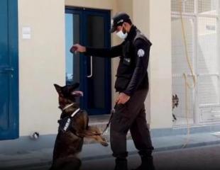 В ОАЭ начали использовать собак для выявления заразившихся коронавирусом