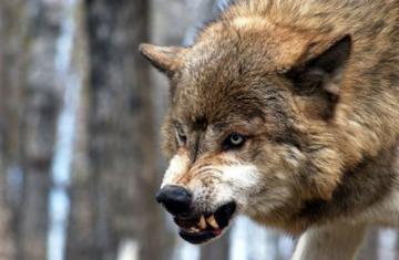 В Товузе волк покусал 23-летнего мужчину