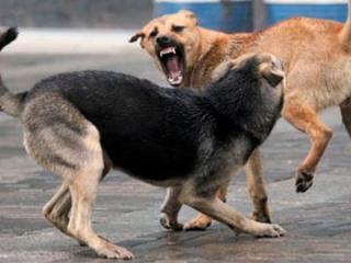 В Гахе бездомные собаки покусали 2 человек