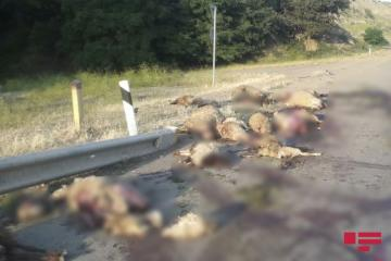 В Азербайджане «КамАЗ» въехал в стадо овец, убив 25 животных - [color=red]ФОТО[/color]